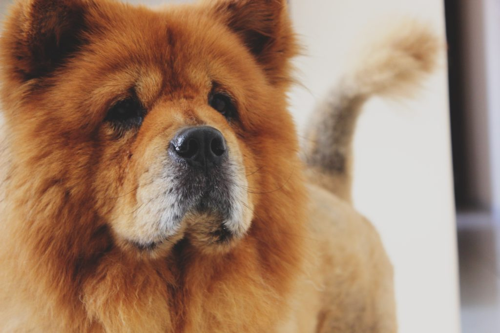 Cane Chow-Chow